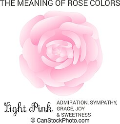 Light pink rose infographics, vector illustration isolated...