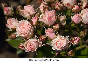 Light pink roses in garden