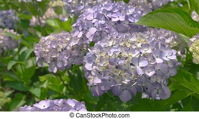 Light purple hydrangeas close up. Flowers in summer.