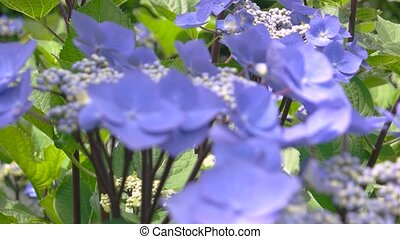 Light purple hydrangeas macro. Flowers close up.