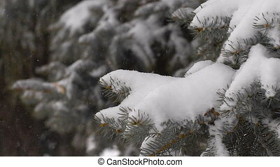 light snowfall. Snow Covered Pine Tree Branches