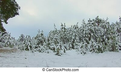 Light snowing in sunny pine forest. This forest...