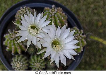 Light white flower of cactus