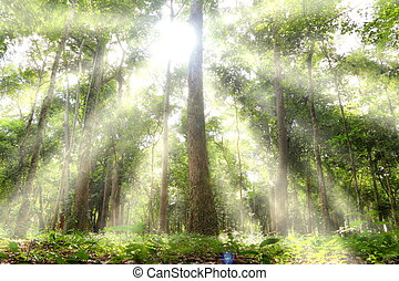 Light woods. - The sun shining through the trees.