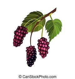 lign, mulberry, blackberry, vektor, branch, frugt, hængende...