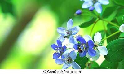 Lignum vitae blue white flowers blooming in blur garden and bee is finding nectar