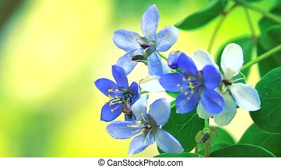 Lignum vitae blue white flowers blooming in blur garden and bee is finding nectar1