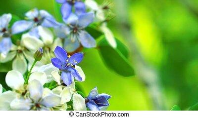 Lignum vitae blue white flowers blooming in blur the garden