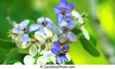 Lignum vitae blue white flowers blooming in garden and bee is finding nectar