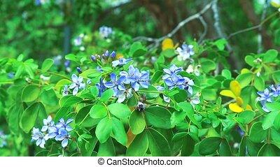 Lignum vitae blue white flowers blooming in garden