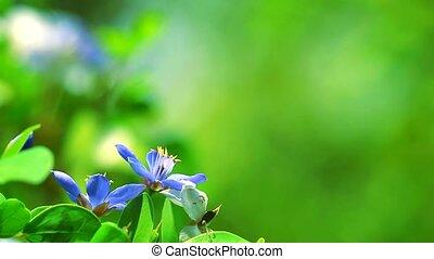 Lignum vitae blue white flowers blooming in the blur garden background