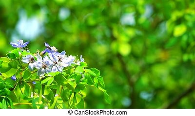 Lignum vitae blue white flowers blooming in the garden and bee is finding nectar