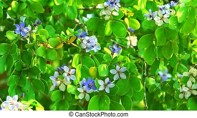 Lignum vitae blue white flowers blooming in the garden and bees are finding nectar