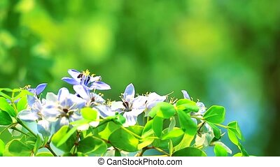 Lignum vitae blue white flowers blooming in the garden and the bee is finding nectar