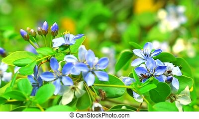 Lignum vitae blue white flowers blooming in the garden and The bees are finding nectar