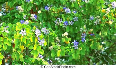 Lignum vitae blue white flowers blooming in the garden and The bees are finding nectar1