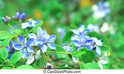 Lignum vitae blue white flowers blooming in the garden