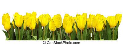 lijn, van, gele, tulpen