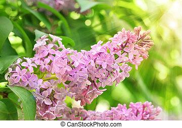 lilás, flor, árvore
