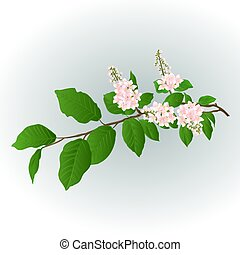 lilás, vetorial, cor-de-rosa, ramo