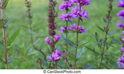 Lila Blumen - Natur