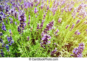 lila, closeup, schein, büsche, lavender., blumen, lavendel, sunset., aus, sonnenuntergang