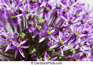lila allium hollandicum empfindung blume florets. Black Bedroom Furniture Sets. Home Design Ideas