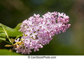 lila, en, primavera