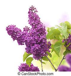 lila, flores, en, primavera, -, frontera, de, un, página, púrpura, y, verde, colores
