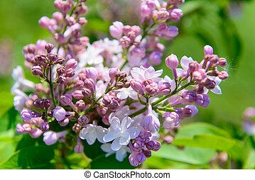 lila, flores, en, primavera