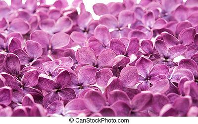 lila, flores, primer plano
