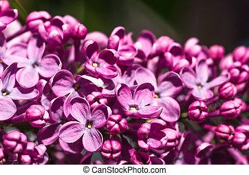 lila, Fruehjahr, hintergrund, violett, Blumen-, blumen, weich