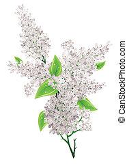 lila, hojas grandes, aislado, blanco, ramo