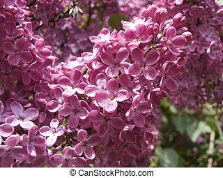 lila, lila busch
