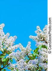 lila, lila, in, blauer himmel