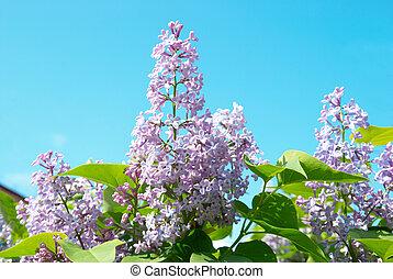 lila, rama, violeta