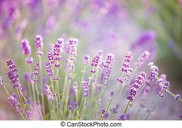 lila, schein, aus, lavender., sonnenuntergang, blumen