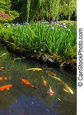 lila, sibirisch, iris, blüte, per, koi, teich