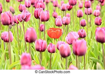 lila, tulpen, feld