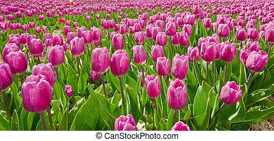 lila, tulpen