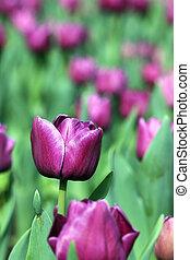 lila, tulpenblüte, blume, springen jahreszeit