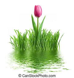 lila, tulpenblüte, und, grünes gras, mit, reflexion, freigestellt, weiß