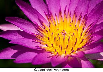 lila, und, gelber , lotusblüte