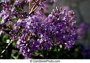 Lilac 4376 - Lilacs brighten Mineral Palace Park in Pueblo,...