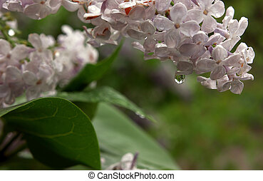 Lilac after rain with water drop