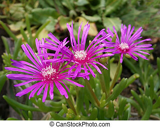 Lilac Alpines Asters