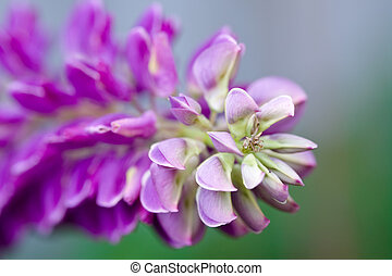 Lilac and pink flowers of lupines in summer