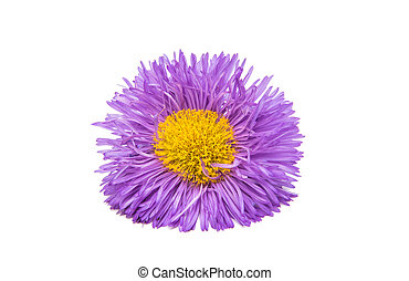 Lilac aster isolated