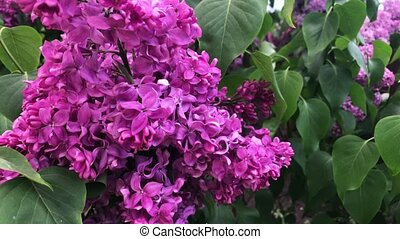 Lilac bloom on a sunny day