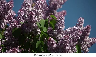 lilac blooms against the blue sky